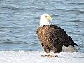 Bald eagle on ice at Eastern Neck National Wildlife Refuge (34280805731).jpg