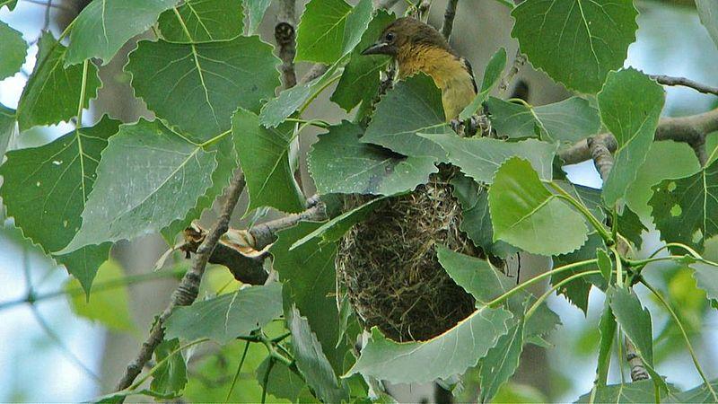 File:Baltimore Oriole Nestling on Nest (9009547348).jpg
