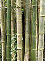 Bamboo, El Yunque National Rain Forest - Flickr - Jay Sturner.jpg