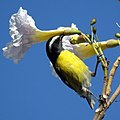 Bananaquit (4451414324).jpg