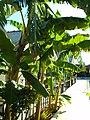 Bananestauden in Bungalowanlage östlich von Side - Manavgat - Sorgun - Titreyengöl - panoramio.jpg