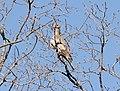 Band-tailed Pigeon (Viosca), San Antonio de la Sierra, Baja California del Sur, Mexico, 1 March 2014 (12921391634).jpg