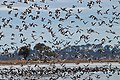 Banded Stilts and Red-necked Avocets (23868399854).jpg