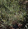Banksia violacea.jpg
