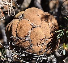 A globular old flowerhead, mostly made up of mature brown seed pods