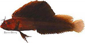Emblemaria atlanticus