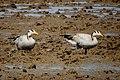 Bar Headed Geese (24368978226).jpg