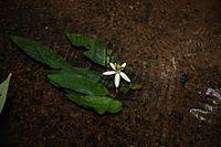 Barclaya longifolia in Thailand.jpg