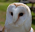 Barn Owl (5991148498).jpg