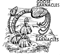 Barnacles (PSF).png