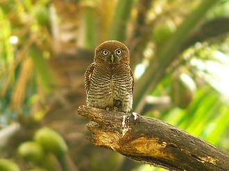 Jungle owlet - Subspecies malabaricum, Kerala