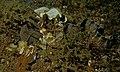 Barred Moray (Echidna polyzona) (6065567062).jpg