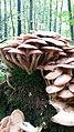 Baumberge, Pilze, Baumstamm, Moos, Buchen, Wald.jpg