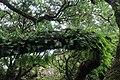 Baumveteran im Laurisilva von Madeira zwischen Paul da Serra und Fanal V.jpg