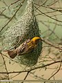 Baya Weaver (Ploceus philippinus) (42082414790).jpg