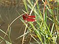 Beautiful Red Dragon Fly.jpg