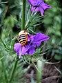 Bee on Consolida ajacis, Armenia.jpg