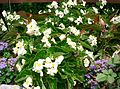 Begonia 'Dragon Wing White'1.jpg