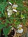 Begonia dregei 002.JPG