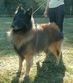 Belgian Shepherd Tervuren Wallpaper