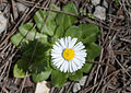 Bellis sp. 02.jpg