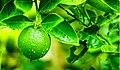 Beneficios-do-limão.jpg