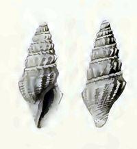 Benthomangelia celebensis 001.jpg