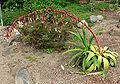 Beschorneria albiflora 2.jpg