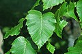 Betula maximowicziana (monarch birch) 6 (25786604378).jpg