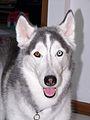 Bi-eyed siberian husky.jpg