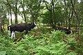 Bickerton woods cows.jpg