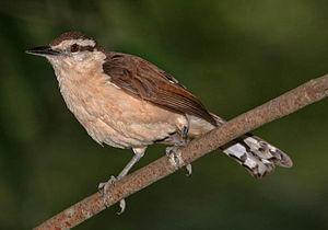 English: Bicolored Wren, shot in Barquisimeto,...
