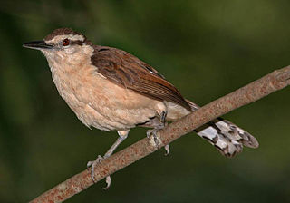 Bicolored wren species of bird