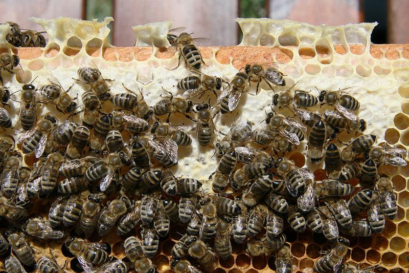 File:Bienen auf Wabe 1.jpg