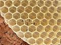 Bienenwabe im Bau 50a.jpg