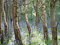 Birch and Bluebells - panoramio.jpg