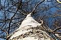 Birch trunk in Norrkila 1.jpg