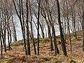 Birch woods, Loch Rannoch - geograph.org.uk - 376155.jpg