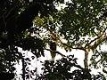 Bird Great Hornbill Buceros bicornis IMG 8659 20.jpg