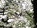Bird Wreathed Hornbill Rufous-necked Hornbill IMG 4614 03.jpg
