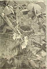nesting and breeding habits of birds Nesting habits of the mourning dove the nest is usually poorly constructed, although both sexes of the mourning dove are involved in making it - the male gathers the twigs, grass and pine needles and takes it to the female who stays on the nest while she is building it.