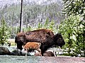 Bison and calf (9296127606).jpg
