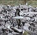 Black-browed Albatross flying over West Point Island (5545883824).jpg