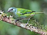 Female black-capped tanager