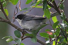 Black-capped Warbling-finch.jpg