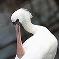 Black-faced Spoonbill Platalea minor 1.jpg