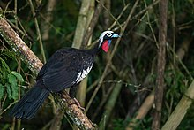Black-fronted Piping Guan - Shreeram M V - Iguazu Argentina.jpg