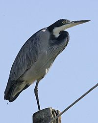 Black-headed Heron (Ardea melanocephala) standing on one leg