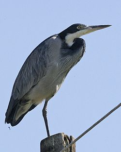 Black-headed Heron (Ardea melanocephala) standing on one leg.jpg
