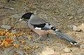 Black-headed Jay Garrulus lanceolatus by Dr. Raju Kasambe DSCN2465 (2).jpg